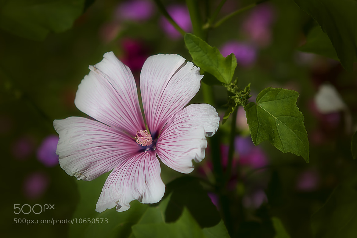 Photograph Lavatera by Wim Bolsens on 500px