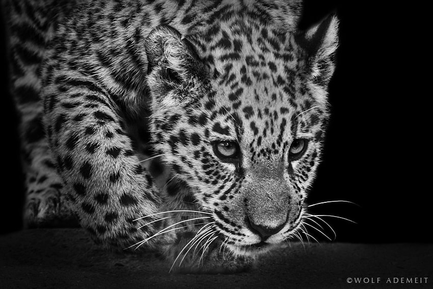 Photograph LITTLE BIG CAT by Wolf Ademeit on 500px