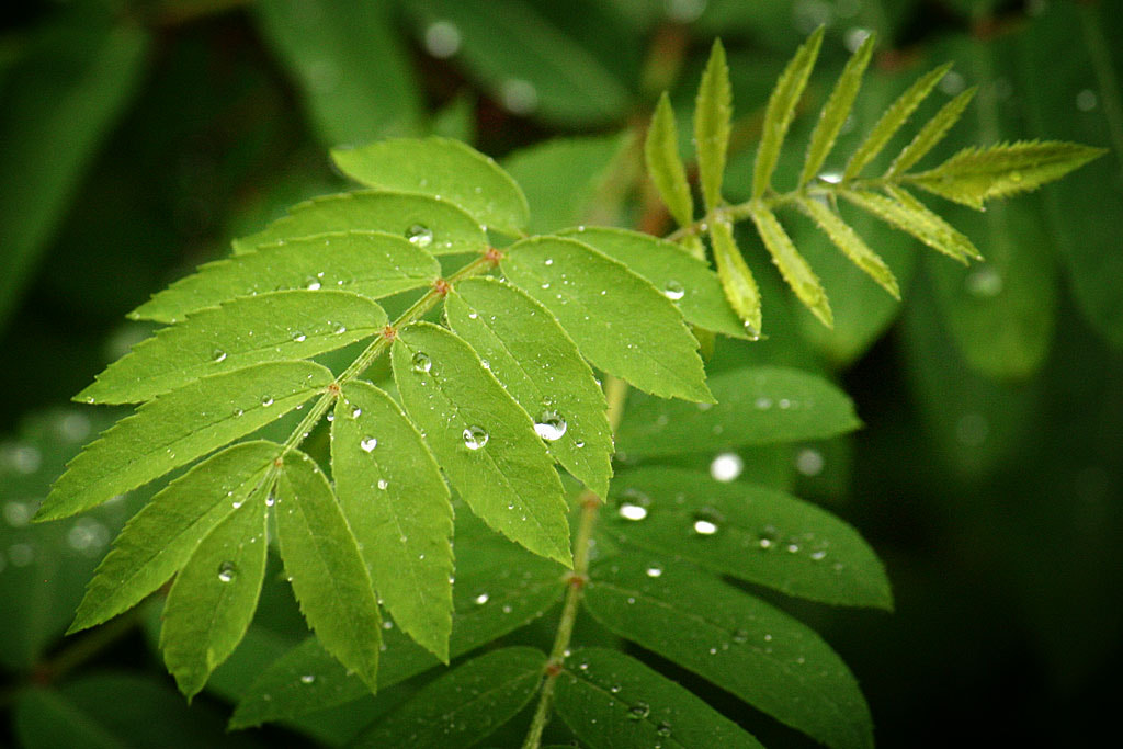 Photograph Raindrops on rowan leaf by Greg Wozniak on 500px