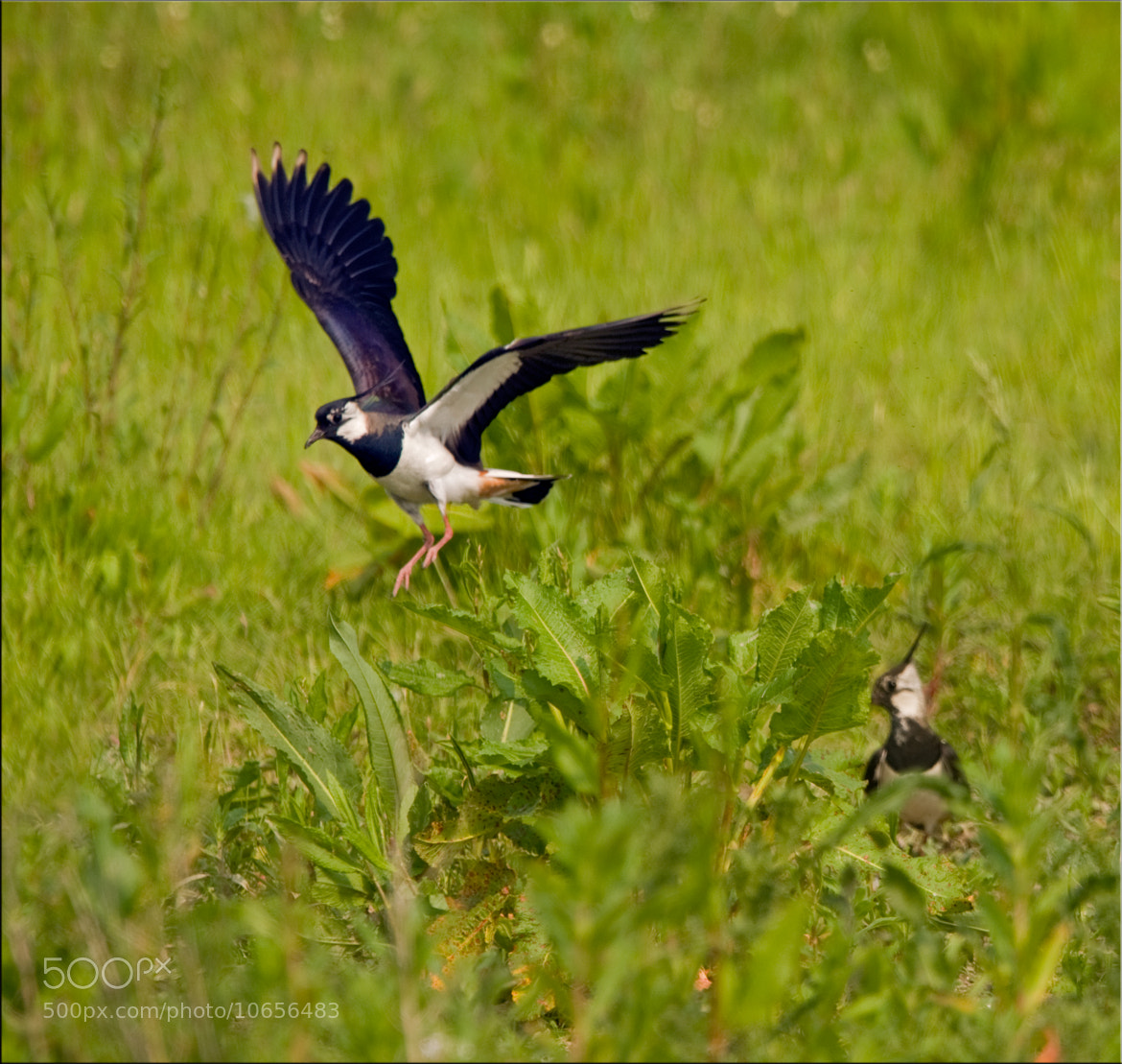 Photograph Lapwing Highjump by Ina Turner on 500px