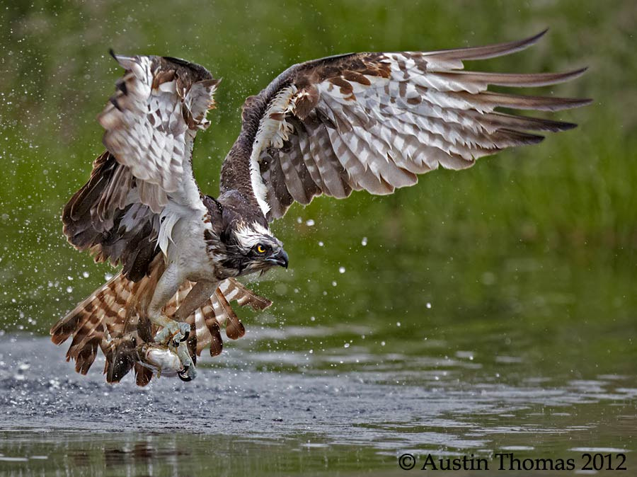 Osprey emerging with fish...