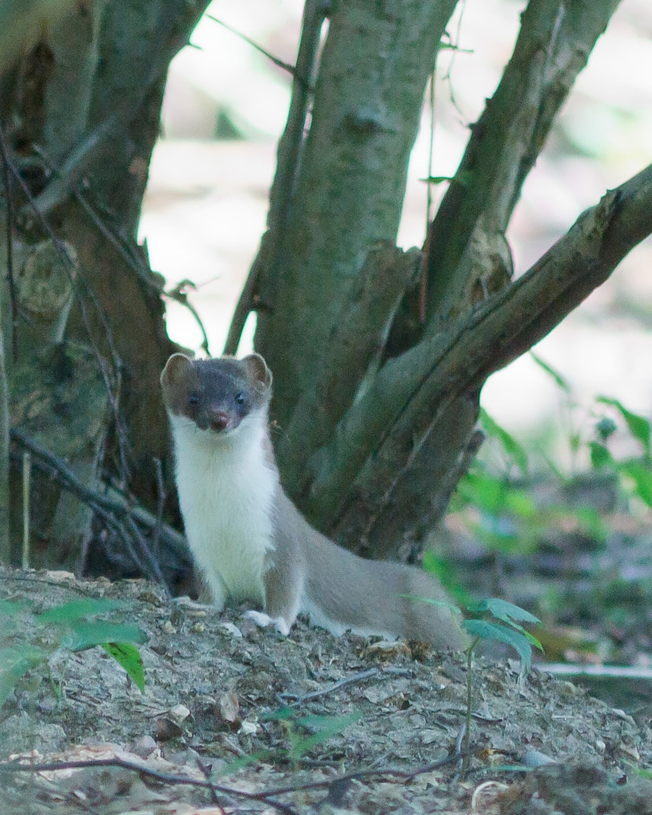 Photograph stoat in the woods by JOHN  DALY on 500px