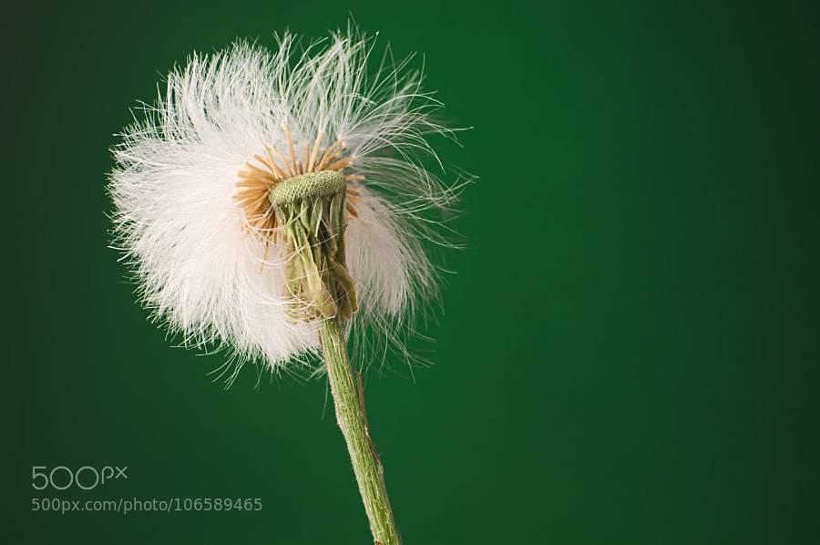 Puffy white flowers stock photos 500px half blown out white puffy dandelion seed head against dark green background mightylinksfo