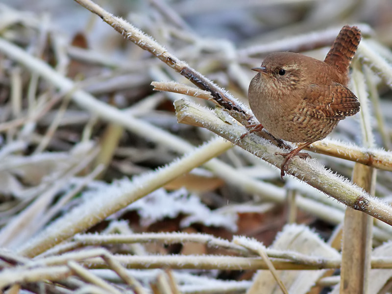 Photograph Wren in Winter by Aat Bender on 500px