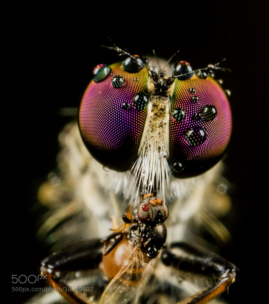 Photograph The  Purple Eyes Robberfly by Ankol Tom on 500px