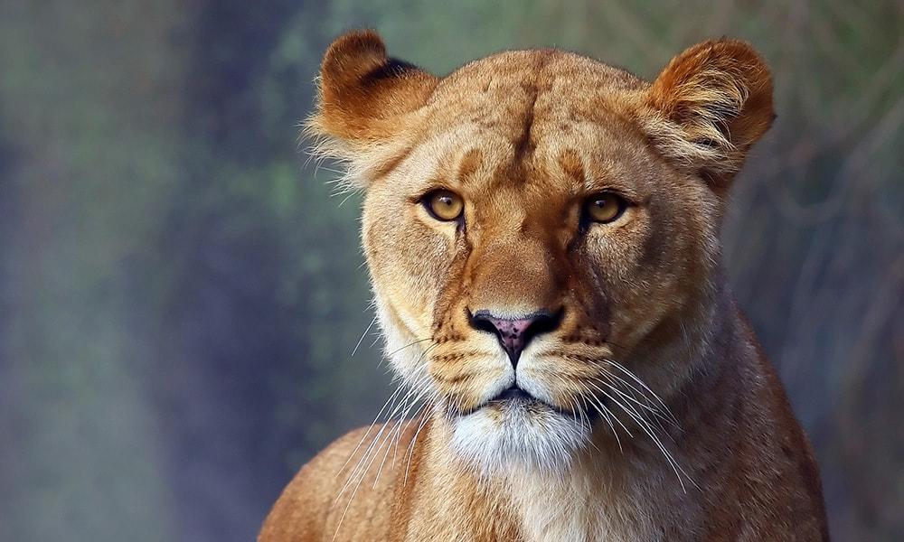 Photograph Watchful Lioness by Kenneth Madsen on 500px