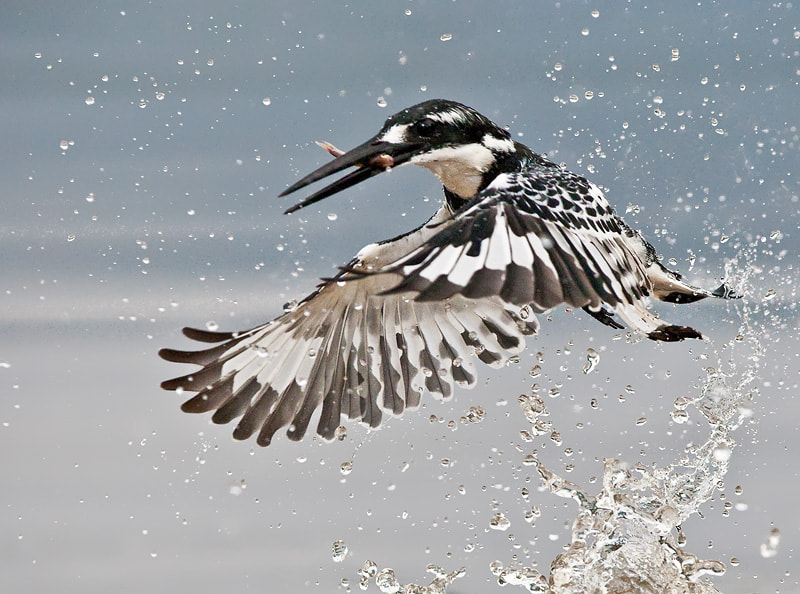 Photograph Pied Kingfisher by Hendri Venter on 500px