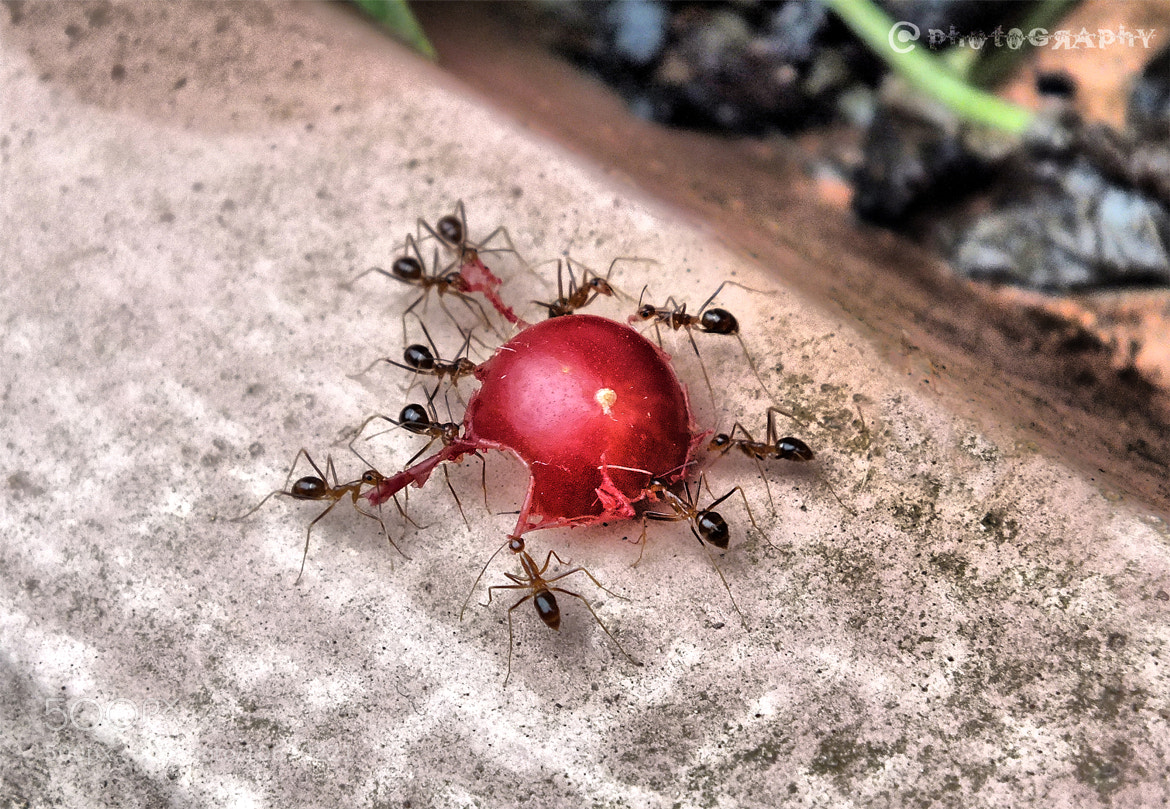 Photograph angry ants.. by arjun ☠ on 500px