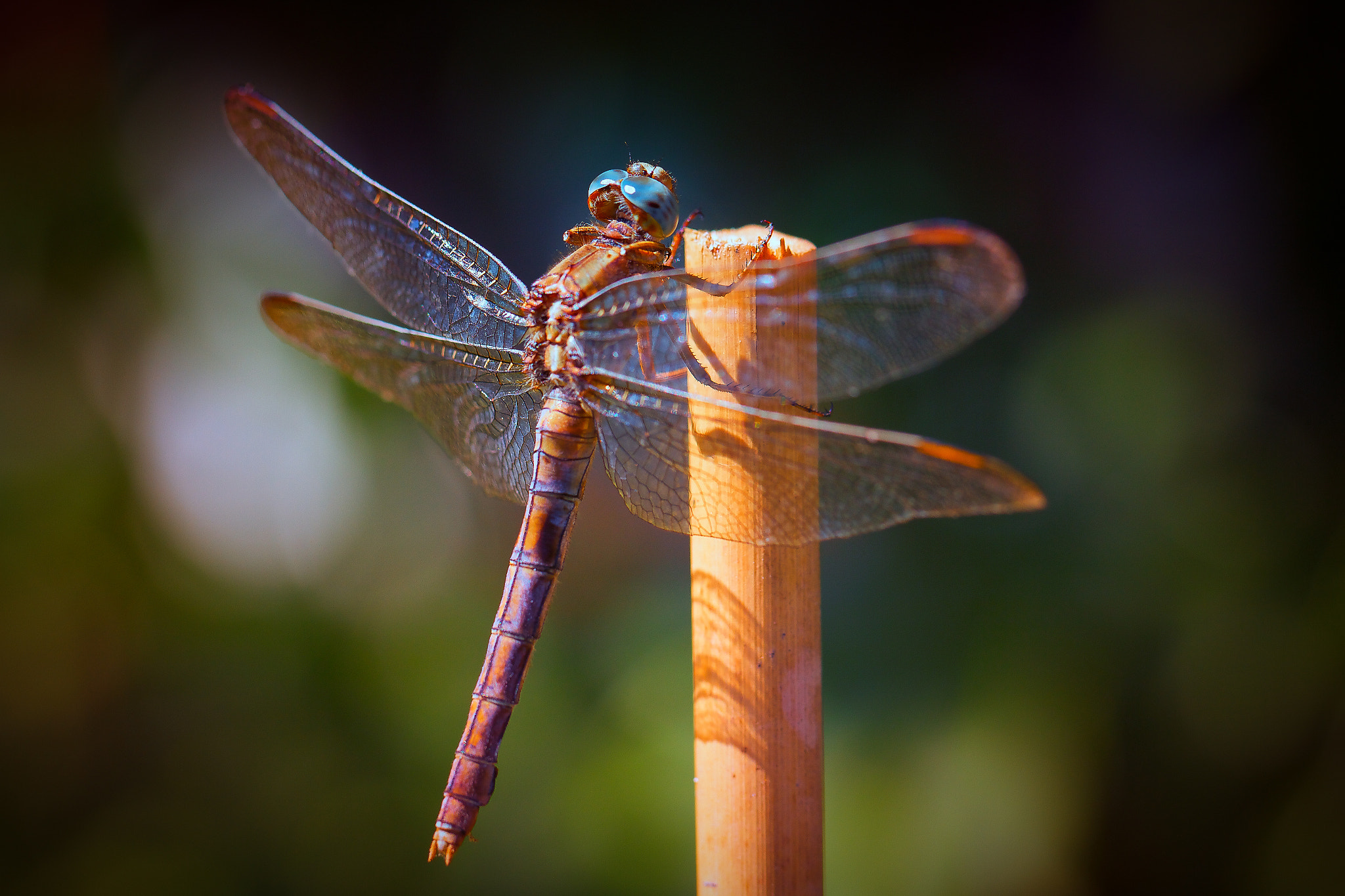 Photograph Libellule by Jean-Louis B. on 500px