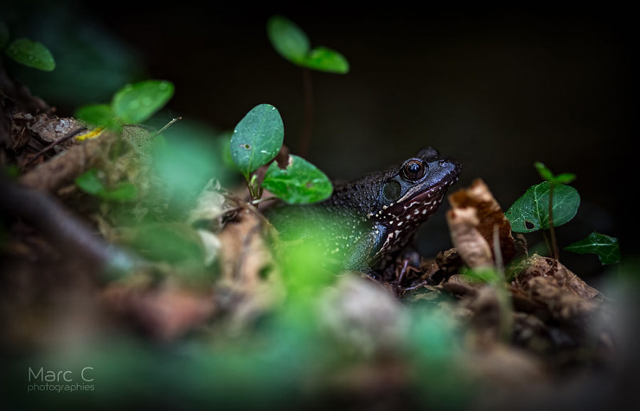 Photograph The mysterious Black Frog by MarcC photographies on 500px