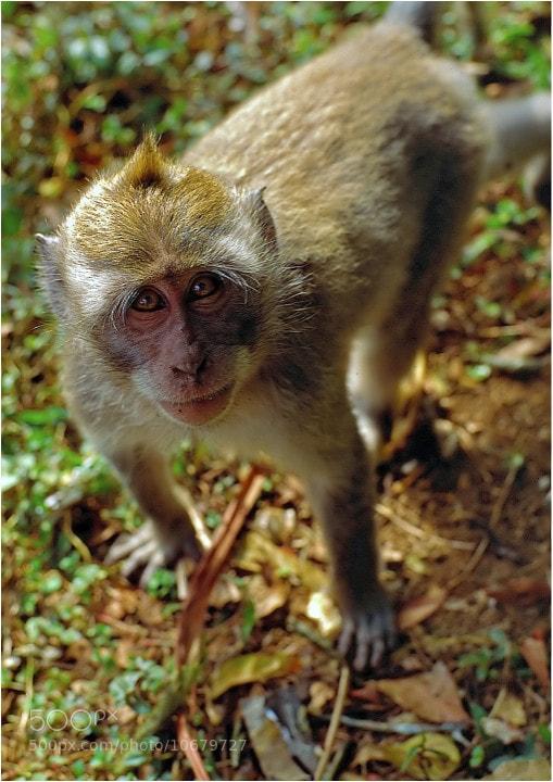 Photograph Monkey, Bali by John Barker on 500px