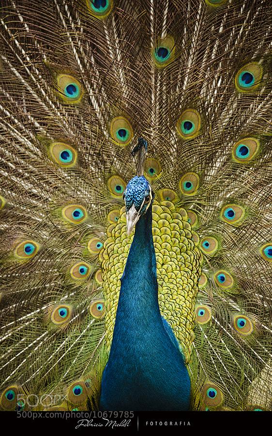 Peacock by fabriciomicheli