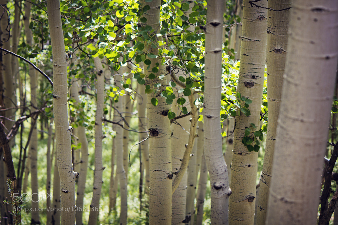 Photograph aspen in summer by Kari Andresen on 500px
