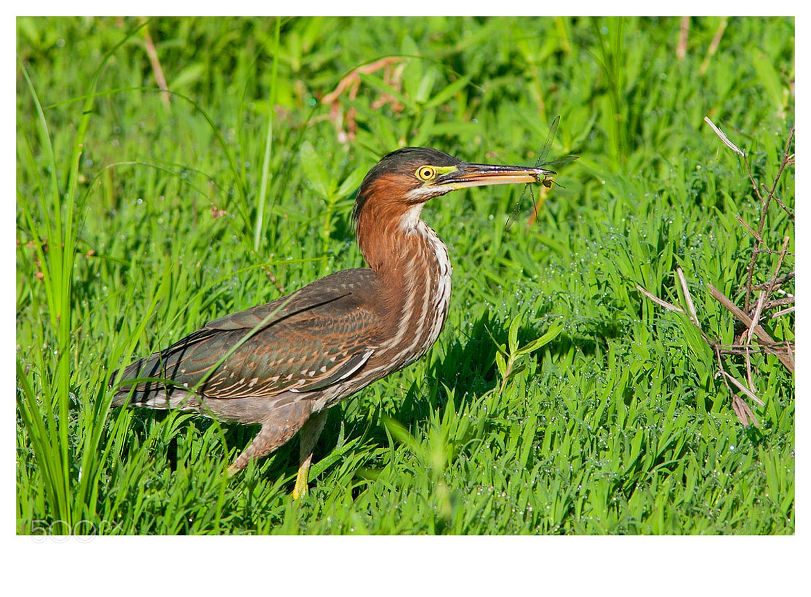 Photograph Green Heron by Elizabeth.  E. on 500px
