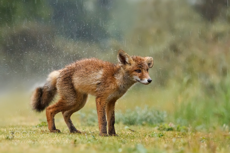 Photograph Wet Fox by Roeselien Raimond on 500px