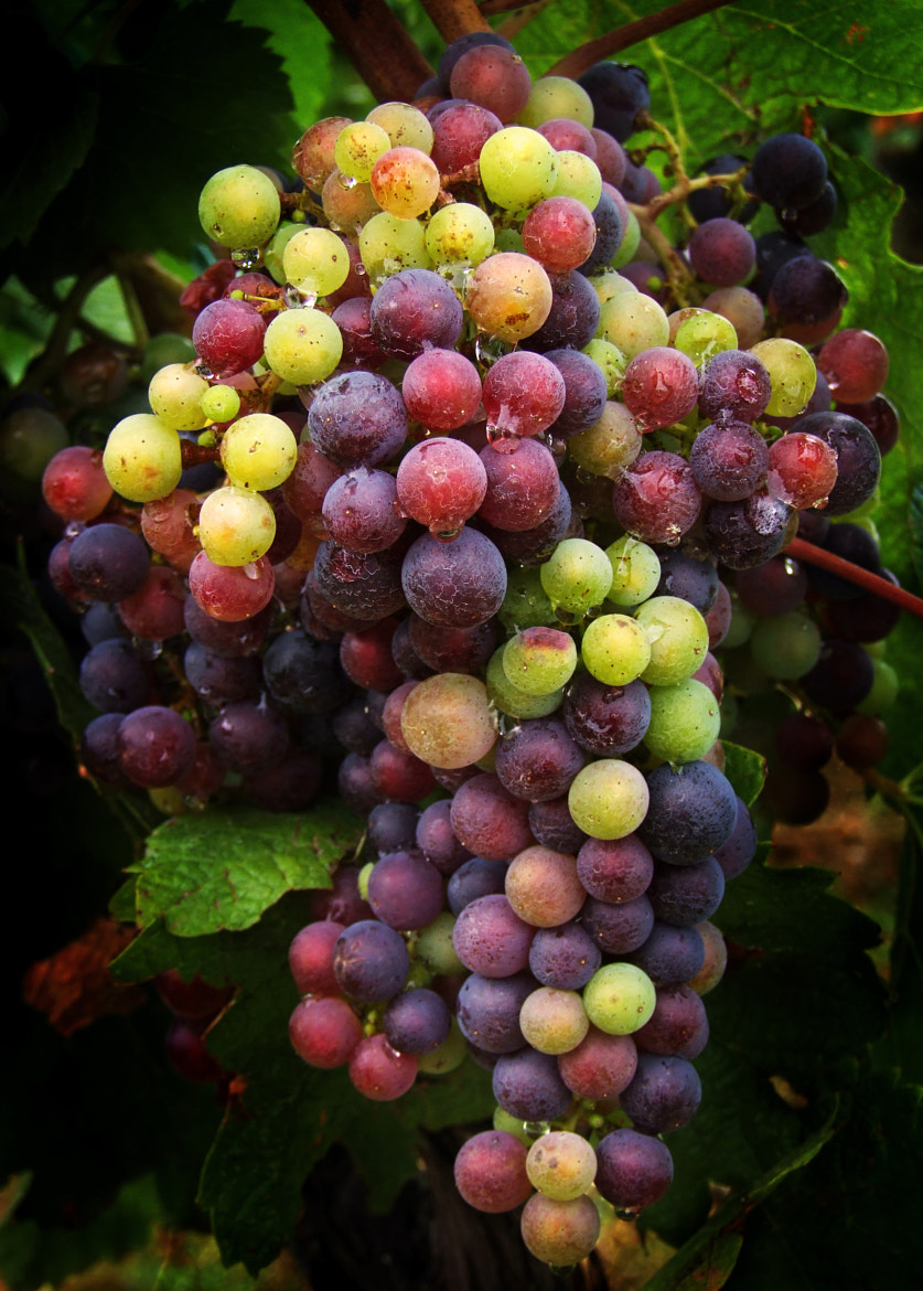 Photograph Cadillac Grapes by Chris Davis on 500px