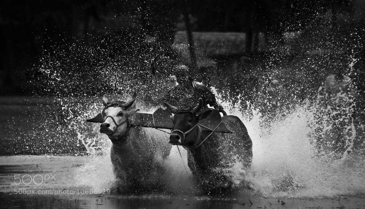 Photograph Bull Race by Samujjwal Sahu on 500px