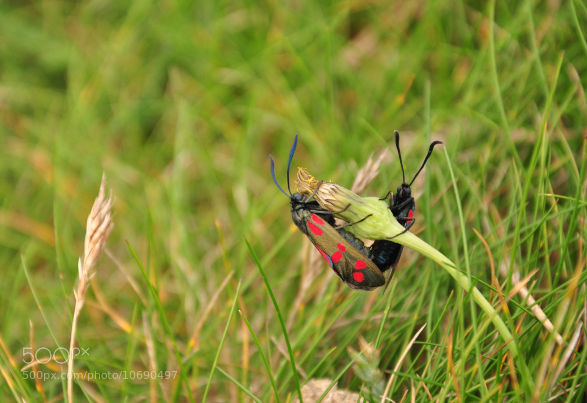 Photograph Mating Cinnabar Moths by Jess Owen on 500px