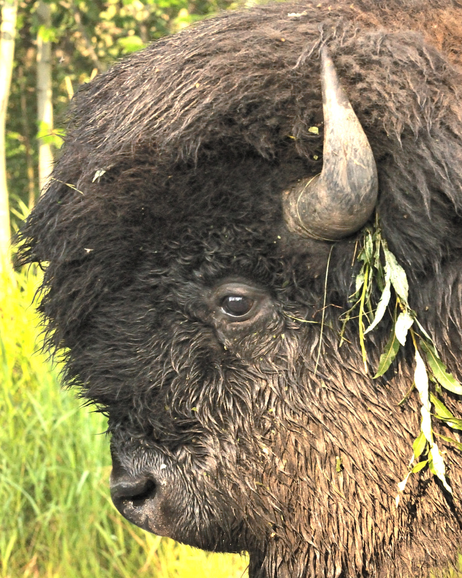 Photograph Accessorized Bison by Sylvia L on 500px