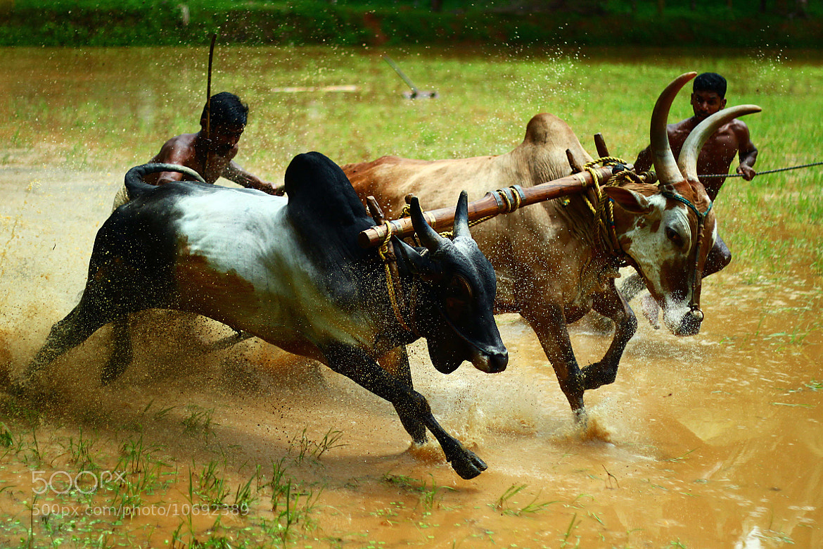 Photograph bull sport by Anvar Sadath on 500px