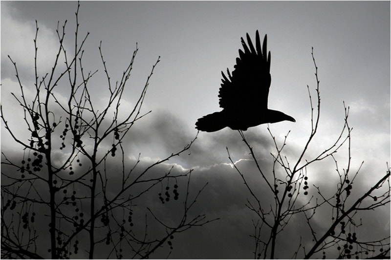 Photograph Raven    Fly with Me by Mirza Ajanovic on 500px