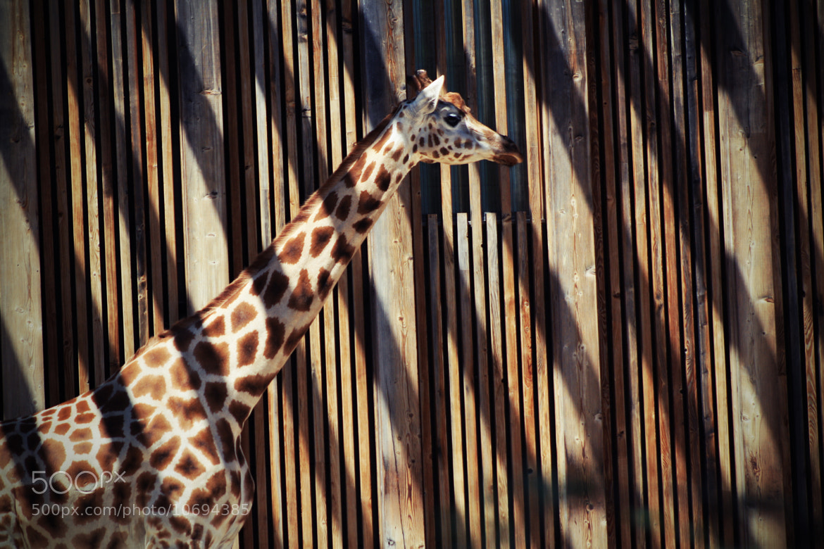 Photograph The giraffe which wanted to become streak by Edouard Jouan on 500px