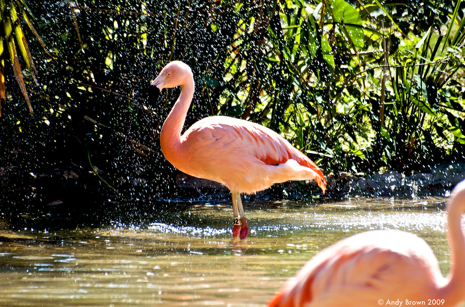 Photograph Splashing Flamingos by Andy Brown on 500px