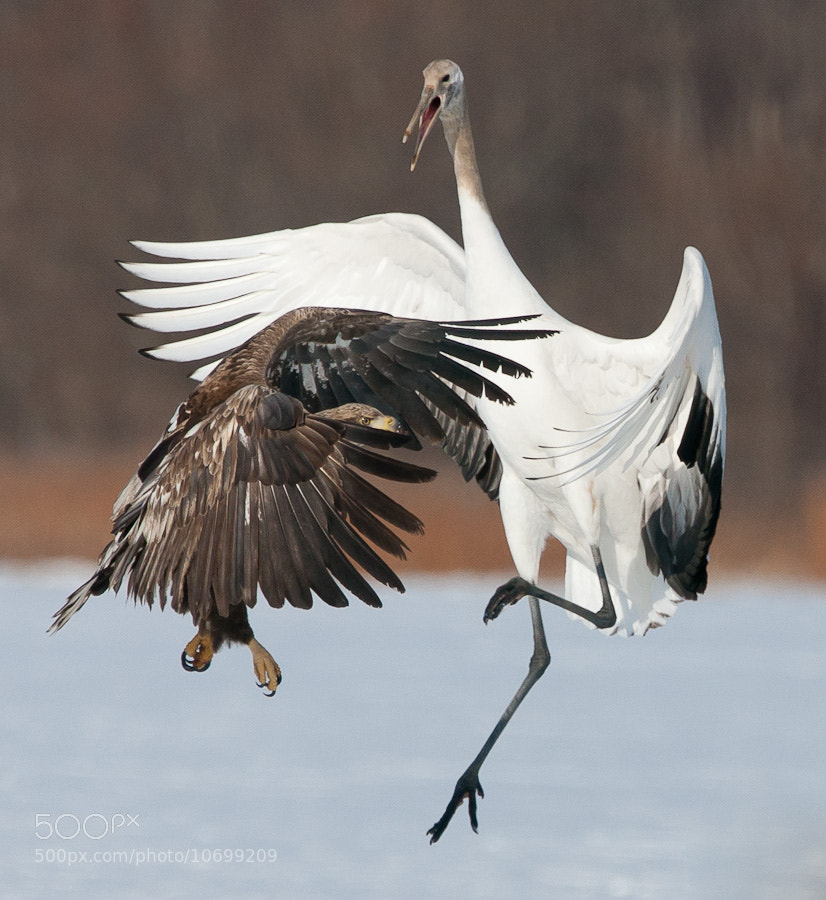 Photograph Crane and Eagle by Thomas Knoll on 500px
