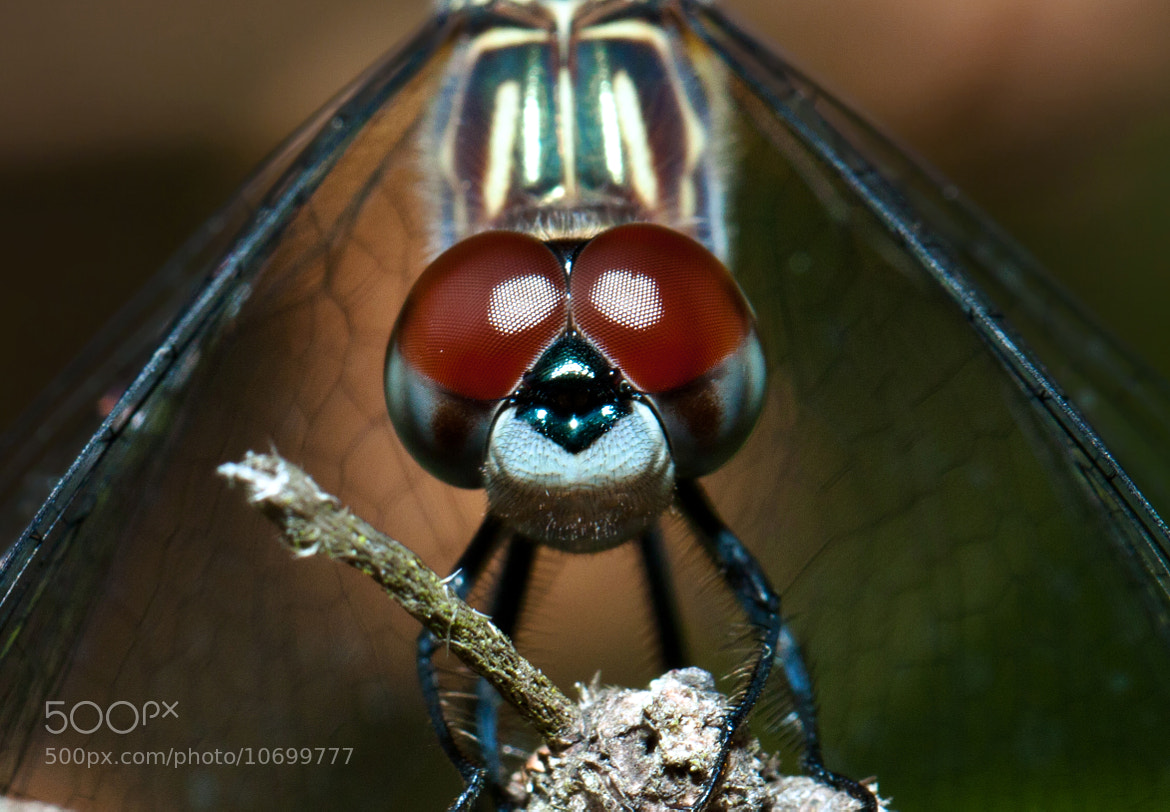 Photograph Dragonfly by Brian Lee on 500px