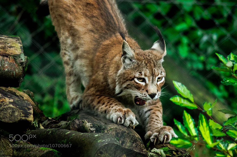 Photograph Lynx by julian john on 500px