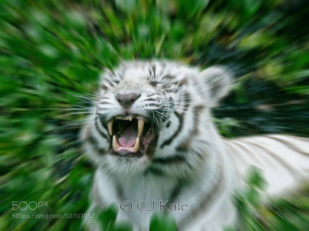 Photograph What a Roar by Cj Kale on 500px