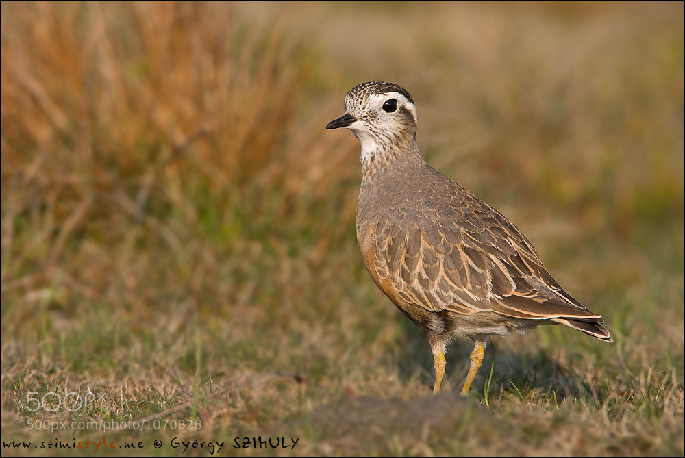 Photograph Eurasian Dotterel (Charadrius morinellus) by Gyorgy Szimuly on 500px