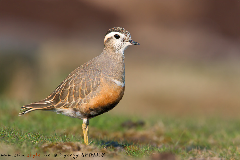 Photograph Eurasian Dotterel (Charadrius morinellus) by Gyorgy Szimuly on 500px