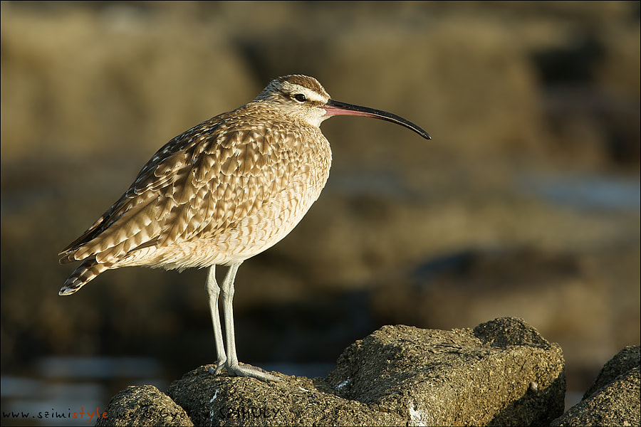 Photograph Whimbrel (Numenius phaeopus hudsonicus) by Gyorgy Szimuly on 500px