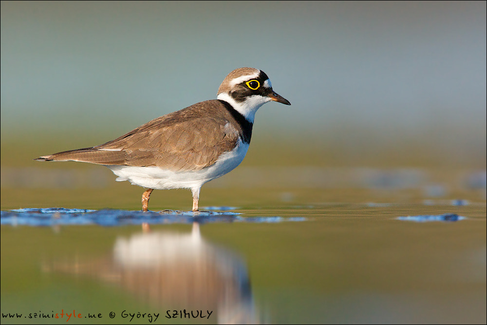 Photograph Little Ringed Plover (Charadrius dubius curonicus) by Gyorgy Szimuly on 500px