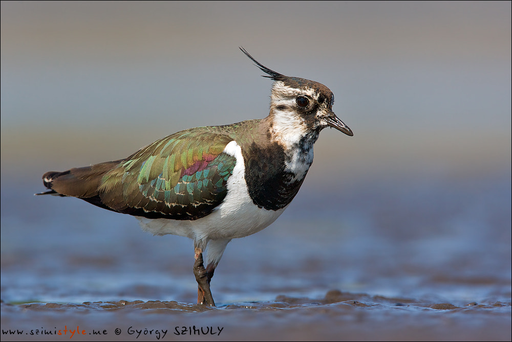 Photograph Northern Lapwing (Vanellus vanellus) by Gyorgy Szimuly on 500px