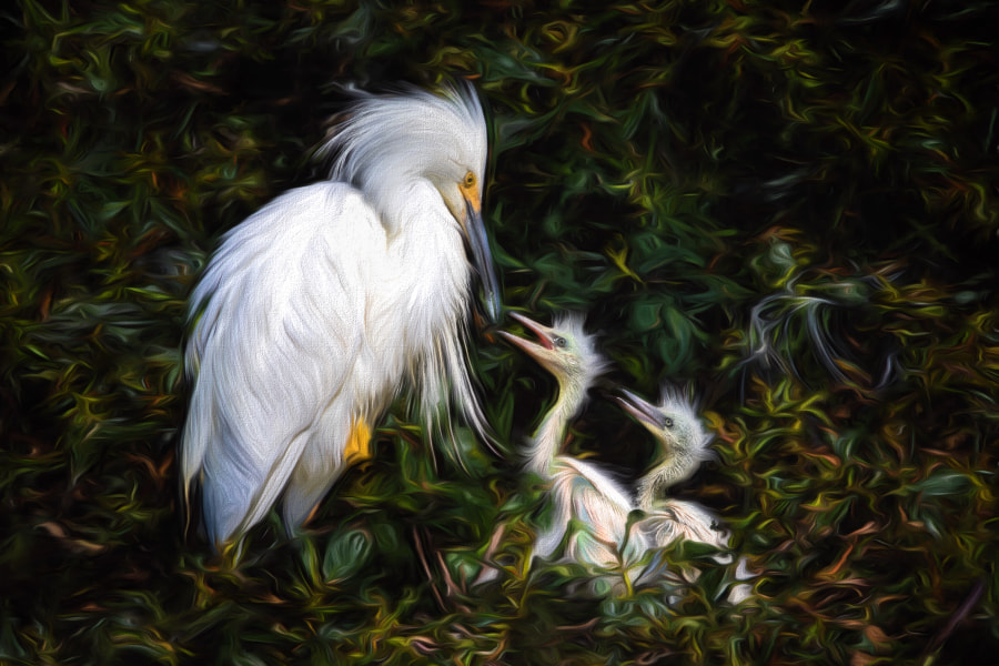 Photograph Snowy Egret - Artsy Mode by Phoo (mallardg500) Chan on 500px