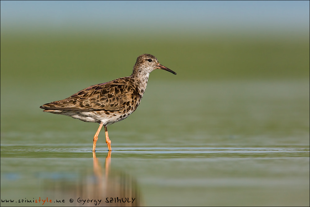 Photograph Ruff (Philomachus pugnax) by Gyorgy Szimuly on 500px