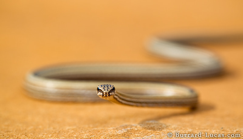 Photograph Big-eyed Snake by Will Burrard-Lucas on 500px