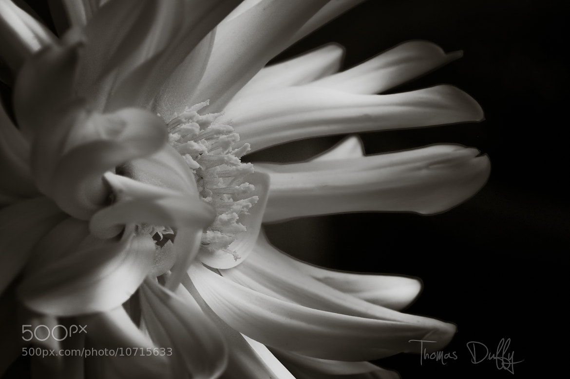 Photograph Dahlia in Black & White II by Thomas Duffy on 500px
