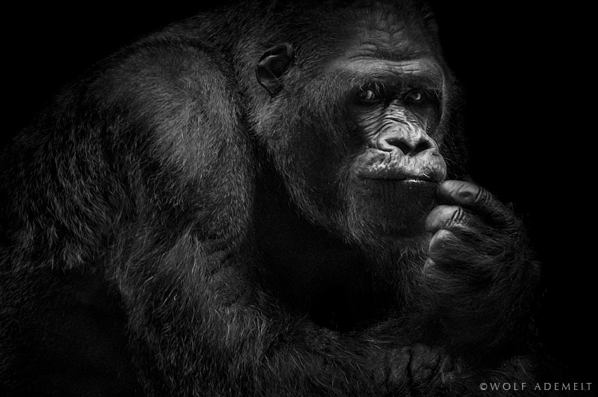 Photograph GORILLA PORTRAIT by Wolf Ademeit on 500px