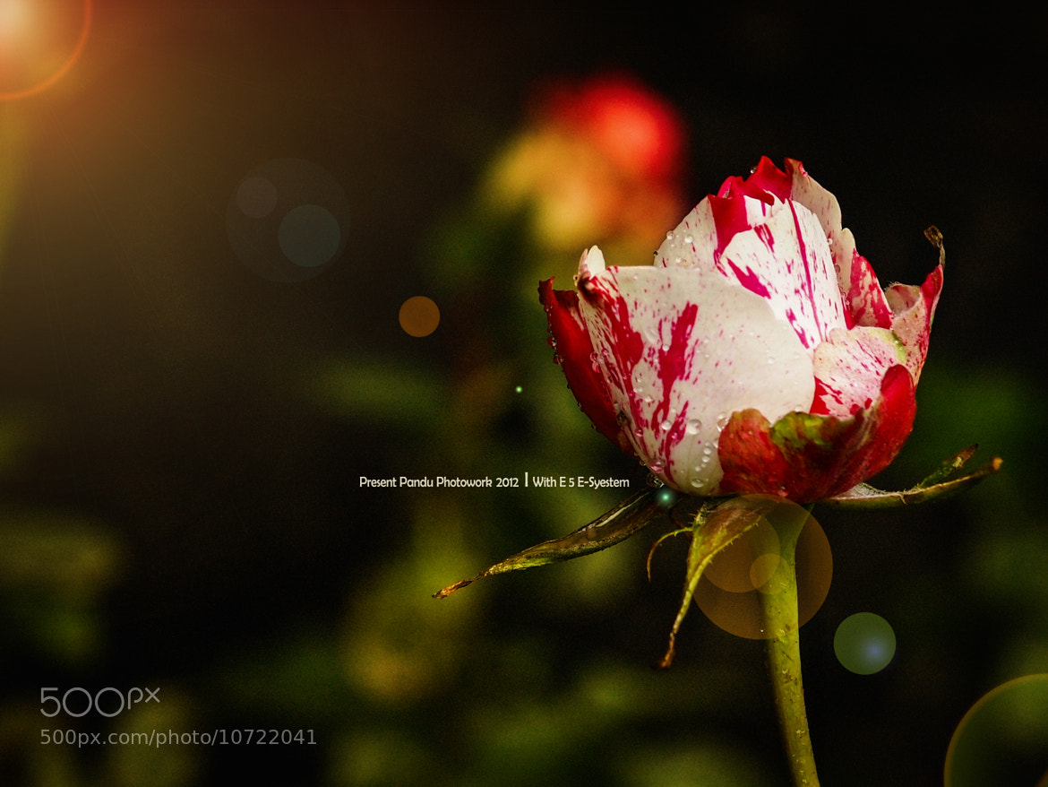 Photograph Rose by pandu shashi on 500px