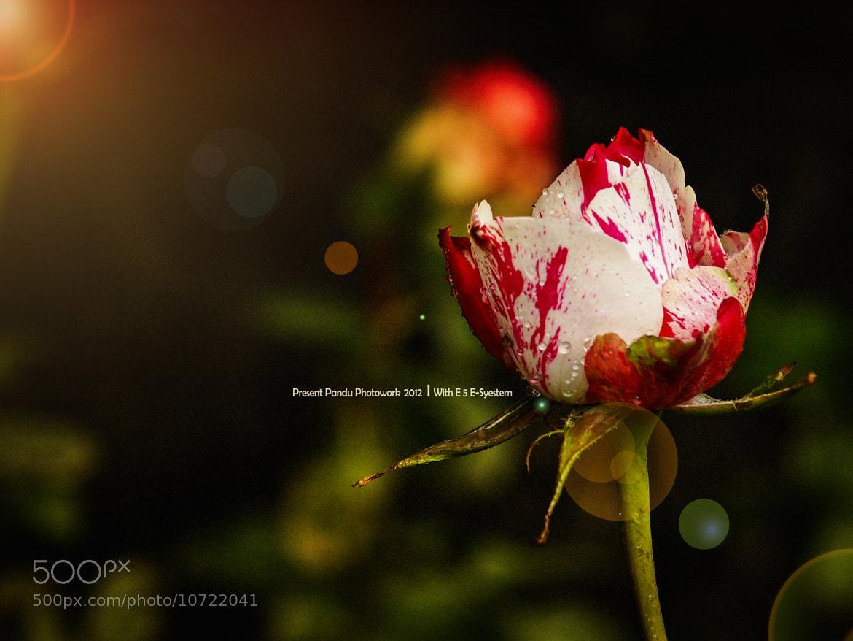 Photograph Rose by pandu shashi on 500px