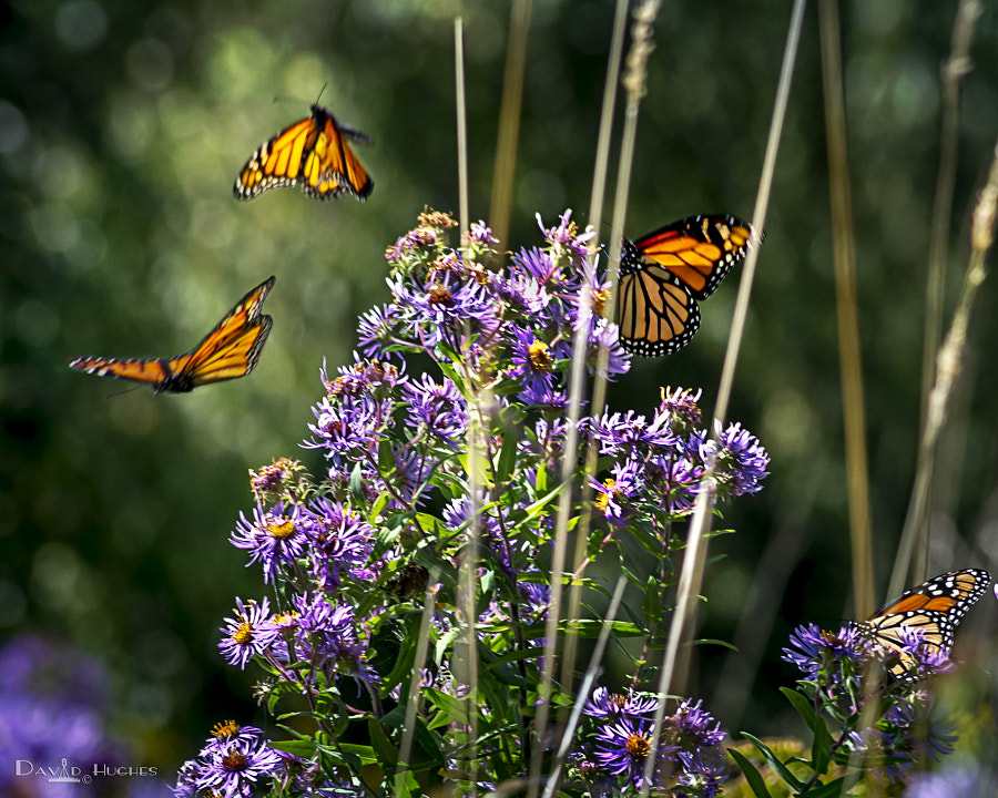Monarchs On The Way To Mexico