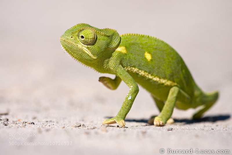 Photograph Flap-necked Chameleon by Will Burrard-Lucas on 500px