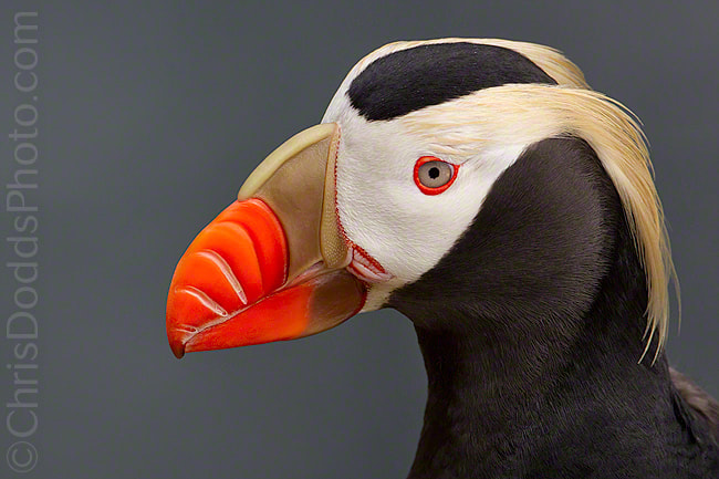 Photograph GOLDILOCKS Tufted Puffin by Christopher Dodds on 500px