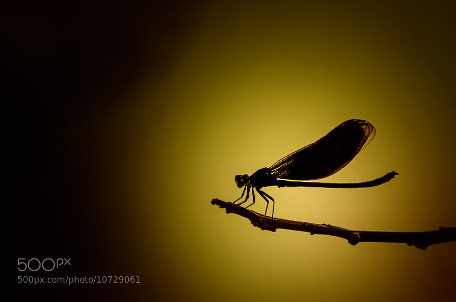 Photograph Silhouette of insect. by Nuang Sangkhsri on 500px