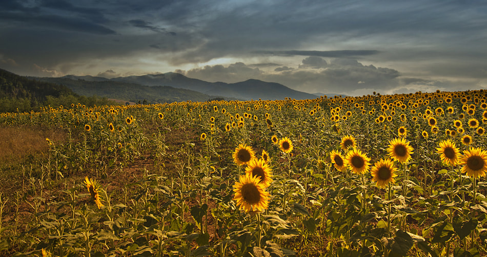 Photograph Sunflowers at sunset by Silvia S. on 500px