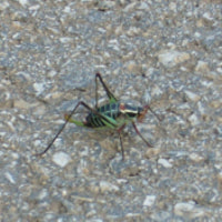 A grasshopper in the middle of the road