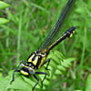 Black yellow odonata